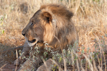 of male lion in the evening sun of Africa