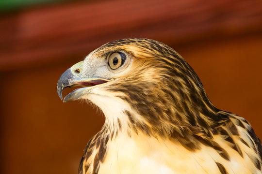 Bonelli's Eagle (Aquila Fasciata) closeup