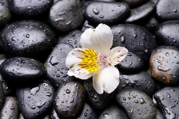 white orchid and wet stones