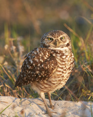 Burrowing Owl Cross Eyed