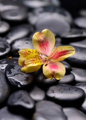 Beautiful yellow orchid on wet zen stones
