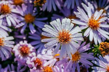 Magenta aster flowerbed under sunlight