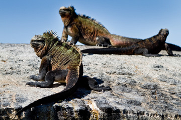 Marine iguanas on a rock in the Galapagos Islands