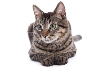 Domestic Shorthair Cat Portrait