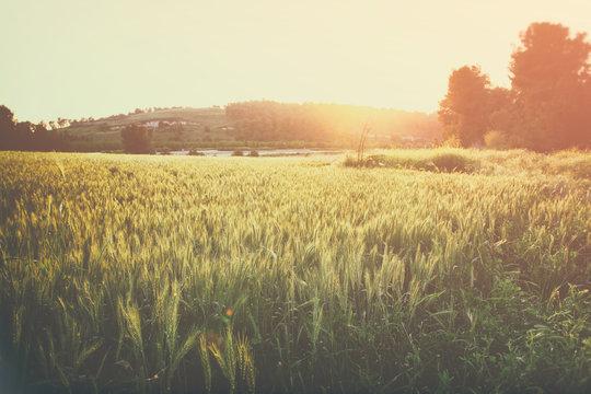 photo of wheat field at sunrise sun burst.