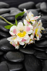 Beautiful new orchid and black stones background