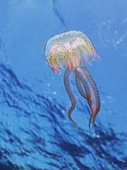 Luminescent jellyfish, Leuchtqualle (Pelagia noctiluca)