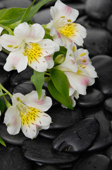 beautiful gorgeous white orchid on back stones background
