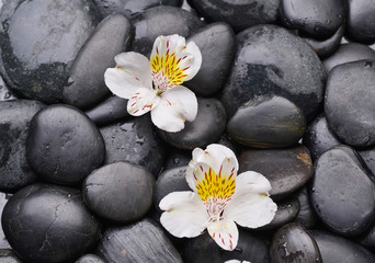 beautiful two orchid and back stones background