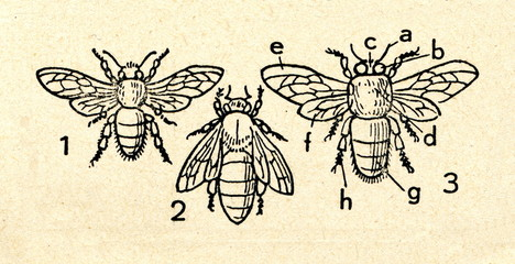 Western honey bee: worker (1), queen (2), drone (3)