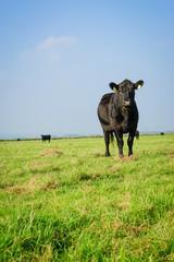 Fototapete - Extensive Rindermast, Galloway Rind auf einer großen Weide