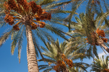 date palms with ripe fruit against blue sky