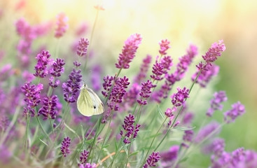 Photo sur cadre textile Bestsellers Butterfly on lavender flower