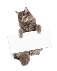 Wall Mural - Beautiful Cat Holding Blank Sign