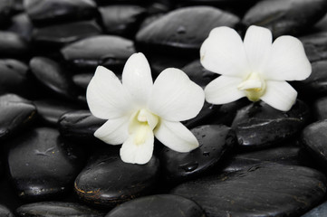 Two white orchid on wet pebbles