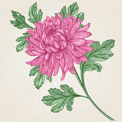 Flower chrysanthemum.