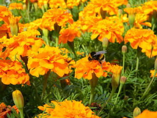 Bumblebee on the Yellow Marigold Flower in the Garden