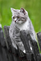 grey cat on the fence
