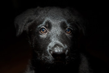 Black Shepherd puppy