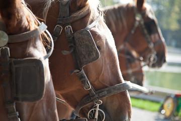 Foto op Plexiglas horses with blinders