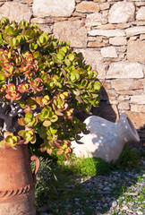 Money tree in a clay pot - typical Mediterranean courtyards and