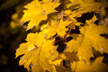 Autumn yellow leaves maple