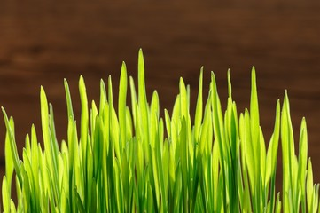 Young spring grass in bright sunlight on wooden background