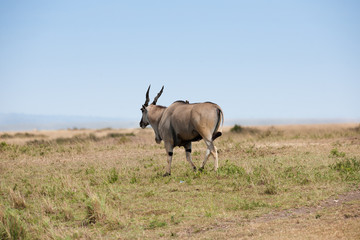 elanantelope in the Masai Mara
