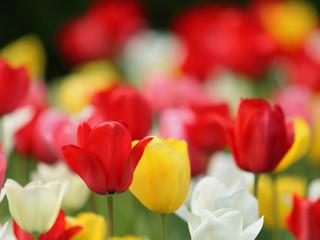 チューリップ-の花園