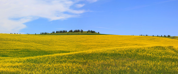 Rapeseed fields Panorama