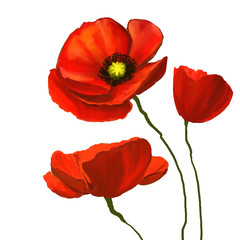 flower poppies vector illustration   painted watercolor