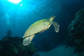 schwebende Schildkröte