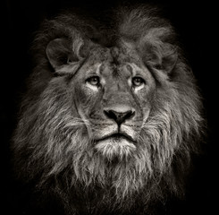 Photo sur Plexiglas Bestsellers arrogant lion