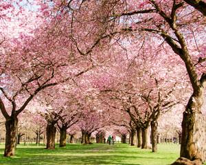 Farbe des Frühlings: Garten mit Japanischen Kirschblüten :)