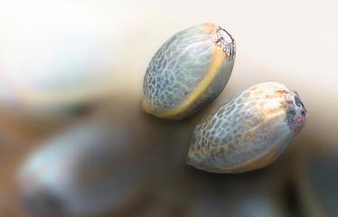 Two hemp seeds