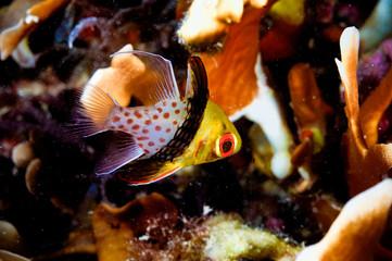 sphaeramia nematoptera pajama cardinal fish kapoposang diver