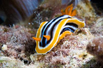 chromodoris nudibranch kapoposang indonesia diver scuba