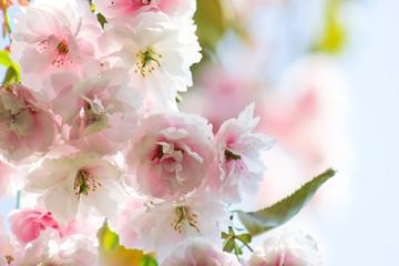 Kirschblüten im Licht