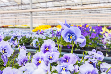 Blooming viola flowers in a greenhouse