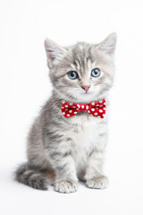 Grey kitten with a bow tie