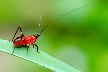 Conocephalus Melas tiny red Cricket