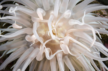 Flower of the sea
