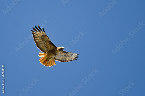Wall mural Red-Tail Hawk Flying in a Blue Sky