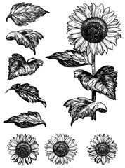 Vector set of isolated  hand drawn sunflowers  at retro style