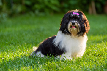 Happy black and white havanese puppy dog is sitting in the grass