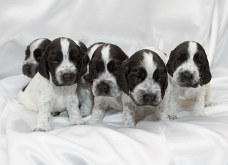 Fotobehang - English Cocker Spaniel Puppies.