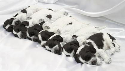 Fotobehang - English Cocker Spaniel Puppies.