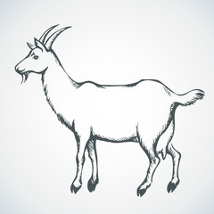 Goat. Vector drawing