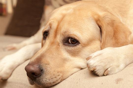 Worried Labrador on the sofa - enhanced colors