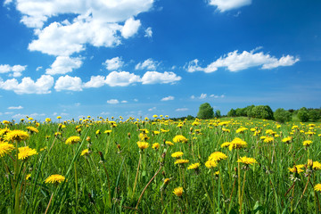 Wall Mural - Field with dandelions and blue sky
